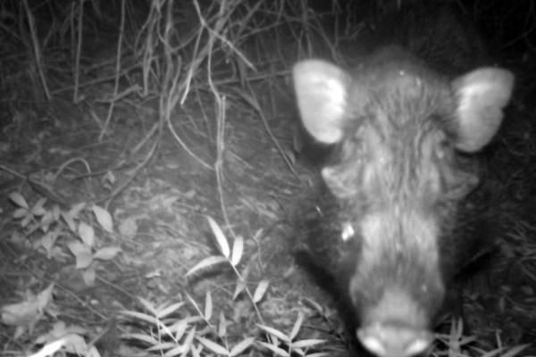 Tujuan dari penelitian ini adalah meminta dibuatnya UU perlindungan terhadap spesies babi kutil. Sebab, keberadaan babi kutil dinilai belum dilindungi payung hukum di Indonesia (BBC)