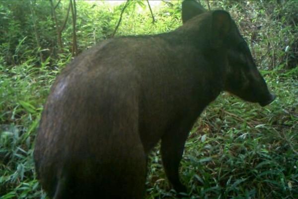 Menurut koordinator program Pertanian Chester Zoo di Asia Tenggara, Johanes Rode-Margono, babi ini memiliki tiga pasang kutil di bagian muka. Karakteristik inilah yang menyebabkan spesies ini dijuluki babi terjelek di dunia (Act for Wildlife/Chester Zoo)