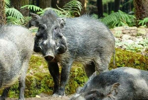 Traveler yang liburan ke Pulau Bawean pun bisa mendapat kesempatan untuk melihat langsung babi kutil Bawean jika beruntung (BBC)
