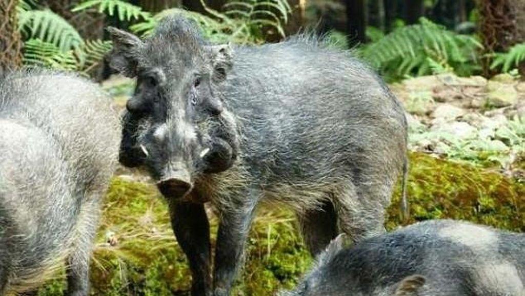 Foto: Penampakan Babi Terjelek dari Indonesia