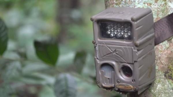 Spesies babi kutil telah merosot sejak awal tahun 1980 karena hilangnya luas hutan di wilayah Jawa. Kali ini periset asal Inggris dan Indonesia memasang perangkap kamera di sebuah hutan di Jawa dan mendapat foto penampakannya (Act for Wildlife/Chester Zoo)
