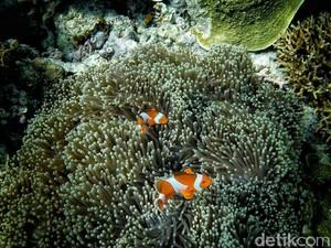 Asyiknya Snorkeling Bareng Nemo di Pulau Kapoposang