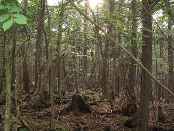 Dengan luas 30 kilometer persegi, hutan tersebut cukup subur akibat curahan lahar yang berasal dari Gunung Fuji ketika gunung tersebut meletus tahun 864. (Internet)