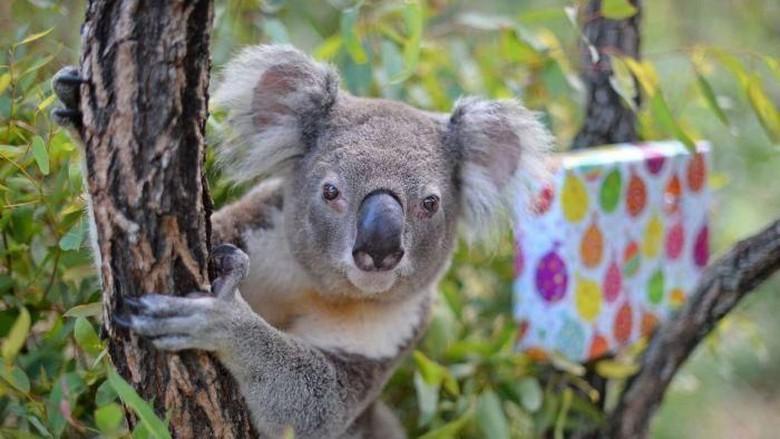 Koala Lawson Rayakan Ulang Tahun ke-16