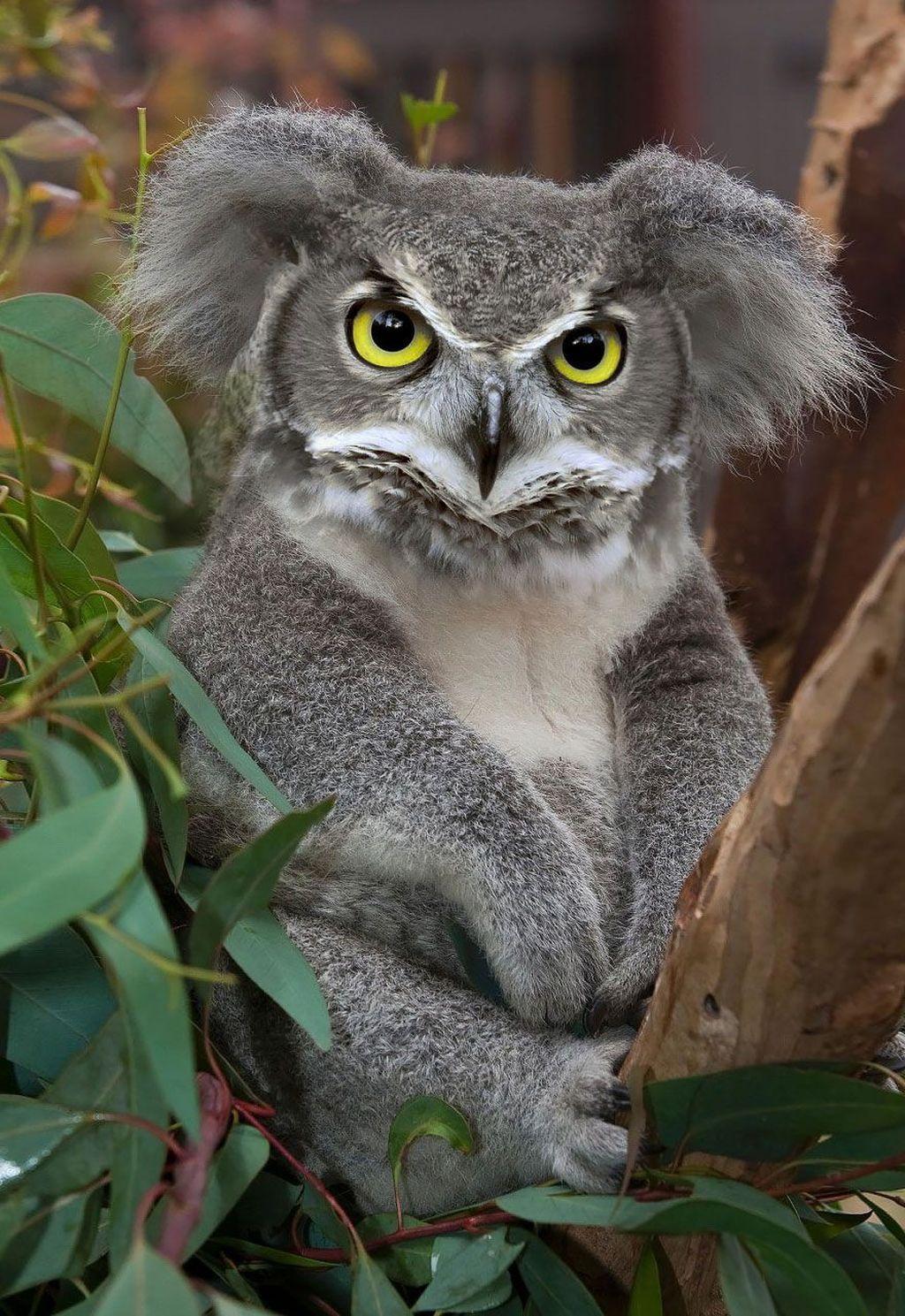 Koaowl, perpaduan koala dengan burung hantu. (Foto: Boredpanda)