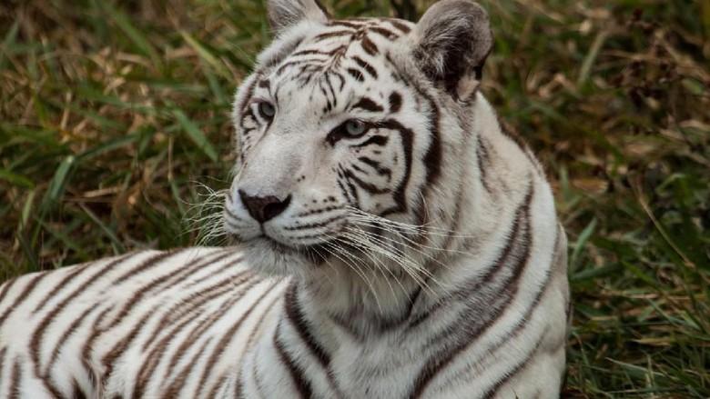 Ilustrasi harimau benggala (Thinkstock)