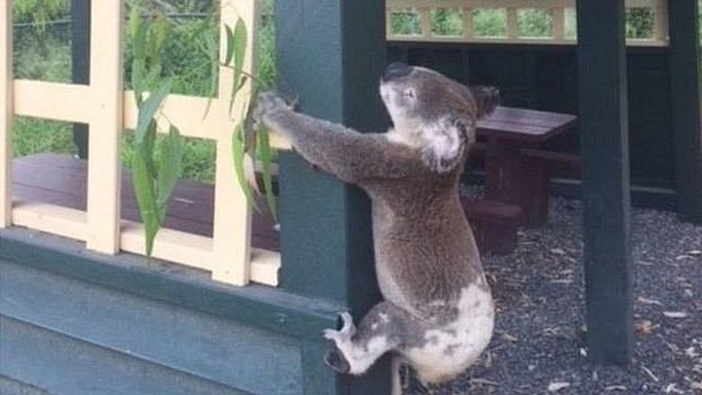 Koala Ditemukan Mati Dipaku ke Tiang, Masyarakat Australia Marah