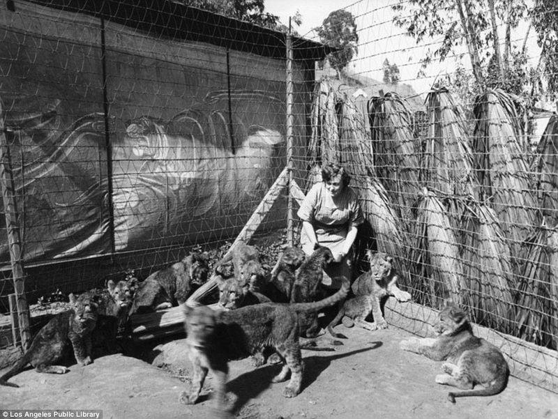 Adalah Gays Lion Farm, sebuah kebun binatang khusus singa yang dibuat oleh pemain sirkus bernama Charles dan Muriel Gay (Los Angeles Public Library)