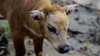 Bayi anoa, hewan langka di Indonesia.