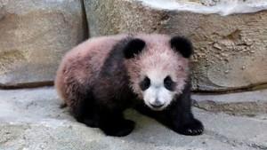 Pengunjung Antusias Saksikan Bayi Panda Pertama di Prancis