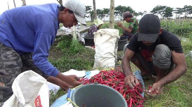 Petani terpaksa memanen dini cabai agar kerugian tak bertambah banyak