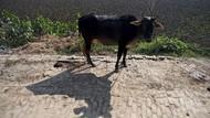 Kasihan, Sapi Bunting di India Telan 71 Kg Sampah