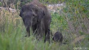 Lokasi Rawan, Bayi Gajah Liar akan Digeser ke Hutan Riau