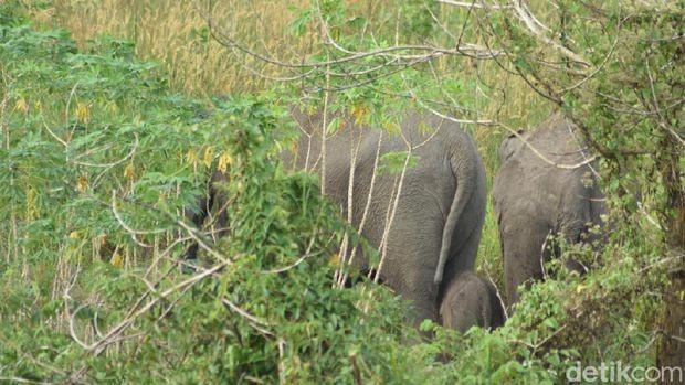 Gajah Liar di Bengkalis Riau Melahirkan Bayi, Ini Penampakannya