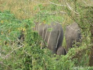Mengenaskan! Bayi Gajah Terluka karena Nyemplung ke Parit