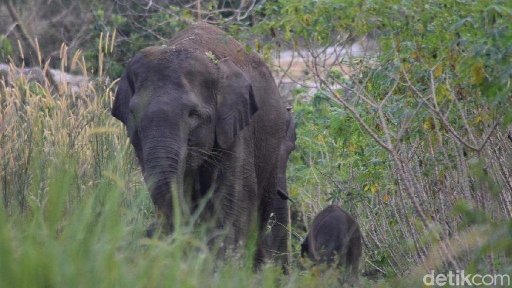 Gajah Liar Bernama Dita Ditemukan Mati Membusuk di Riau