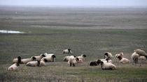 Kawanan Domba Serbu Area Pangkalan Militer AS di Rumania