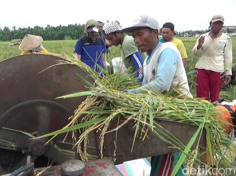 Harga Gabah Naik, Petani di Banyuwangi Tolak Impor Beras