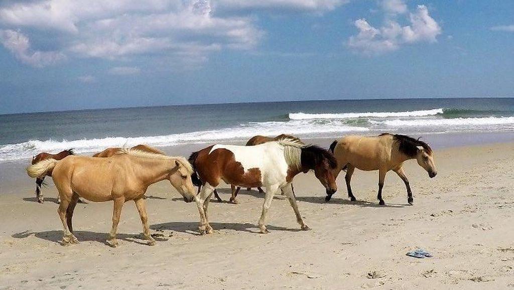 Unik, Pantai di Amerika Ini Isinya Kuda Liar