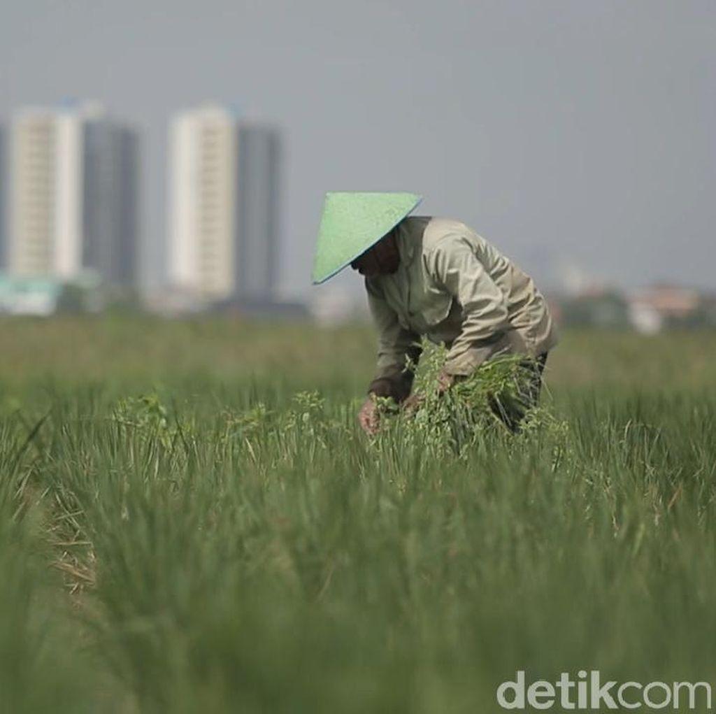 Sandiaga: Sawah di Jakarta Dipertahankan untuk Konsumsi Warga