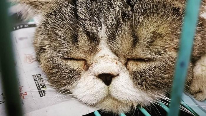 Operasi plastik pada kucing termasuk jenis siksaan pada binatang. (Foto: Istimewa)