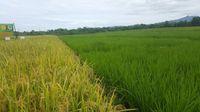 Panen di Kabupaten NTT Ini Capai Produksi 7.2 Ton Per Hektare