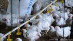 Harga Ayam Melonjak, Yuk Lihat Peternakannya