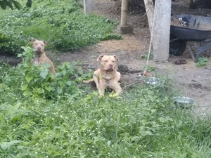 Pria Tua Tewas Diserang 2 Anjing Pit Bull, Ini Kesaksian Warga