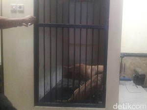Dua Anjing Pit Bull Gigit Warga Hingga Tewas Dibawa ke Polres Kediri