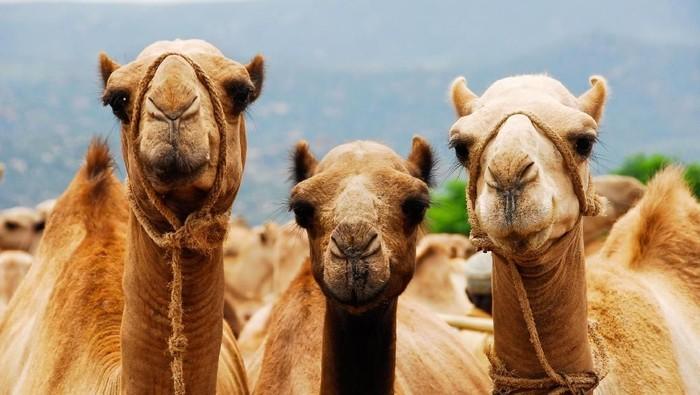 Festival kecantikan unta Arab. (Foto: dok. Thinkstock)