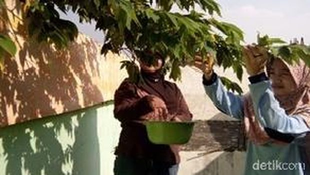 Pohon kersen kaya manfaat/