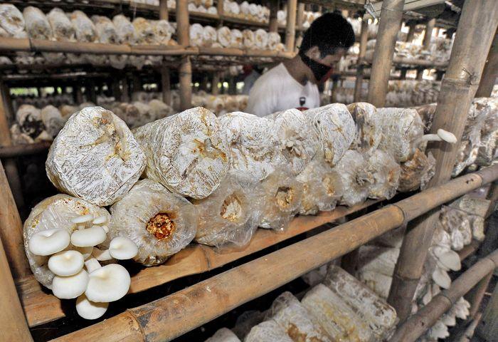 Cuaca lembab akibat hujan mendorong pertumbuhan jamur lebih maksimal sehingga produksi jamur meningkat dari biasanya 2 kwintal menjadi 4 kwintal per 1.000 baglog (kantung) setiap hari. ANTARA FOTO/Asep Fathulraman.