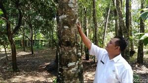 Melihat Budidaya Pohon Gaharu di Purworejo