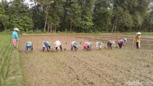 Bupati Ponorogo Sebut Impor Beras Tak Pengaruh Petani Lokal