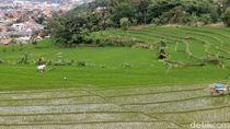 Marak Pembangunan, Sawah di Bandung Menyusut 100 Ha Per Tahun