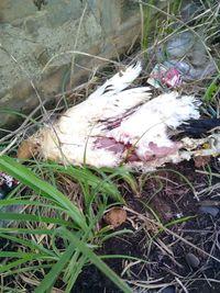 Ayam yang tersengat listrik