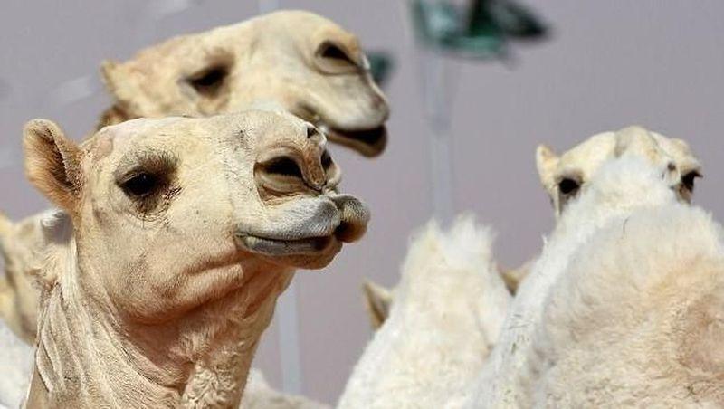Kontes kecantikan unta, Miss Camel, belum lama ini berlangsung di Rumah, Arab Saudi, sekitar 160 km dari Riyadh (AFP/Getty Images)