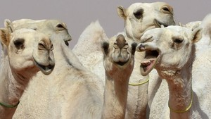 Foto: Kontes Kecantikan Unta di Arab Saudi
