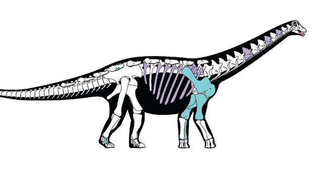 Ilustrasi susunan tulang Mansourasaurus
