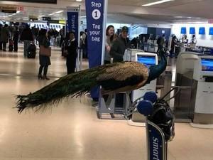 Ada-ada Saja! Traveler Mau Ajak Merak Terbang Naik Pesawat