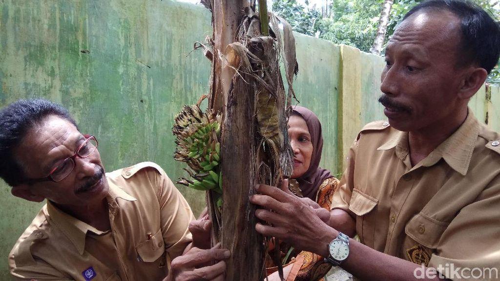 Heboh Pohon Pisang Berbuah dari Batang di Pangkep Sulsel