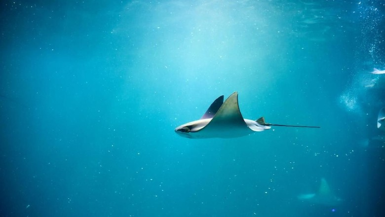 Foto: Ikan pari (Thinkstock)