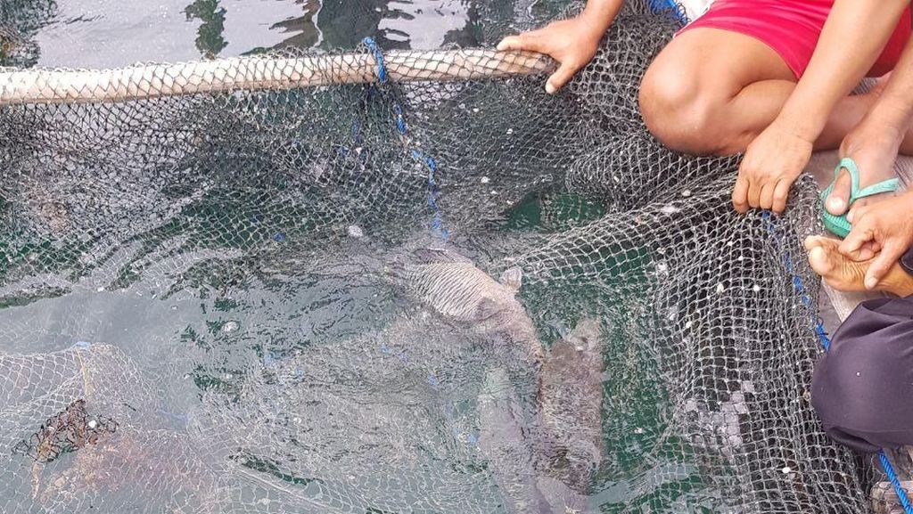 1.000 Ekor Ikan Napoleon Akhirnya Diekspor ke Hong Kong