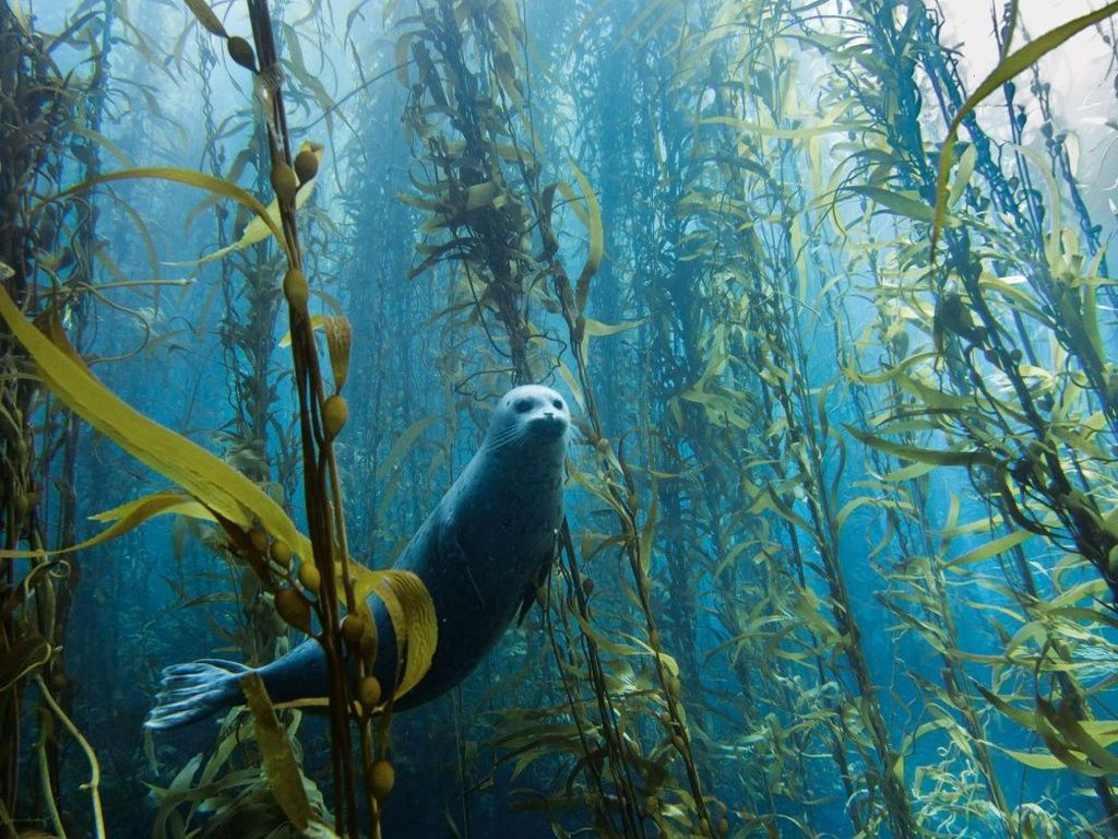 Anjing laut tengah berenang di Cortes Bank dekat San Diego, California. Foto:Kyle McBurnie.