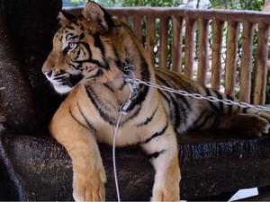 Jual Kulit Harimau di Facebook, Pria di Sumut Ini Dibekuk