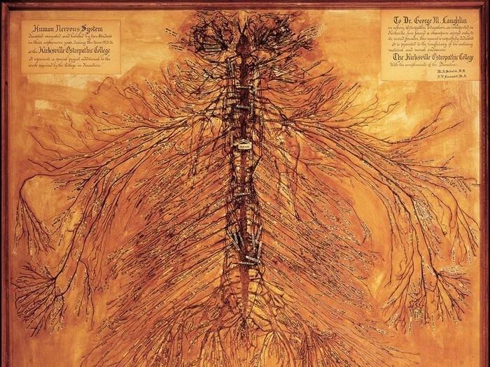 Butuh waktu sekitar 1.500 jam untuk dua mahasiswa kedokteran mengoperasi seluruh sistem saraf manusia. (Foto: Live Science/Museum of Osteopathic Medicine)