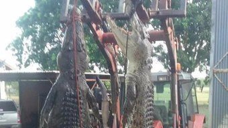 Buaya Makin Sering Ditemukan Memangsa Ternak di NT