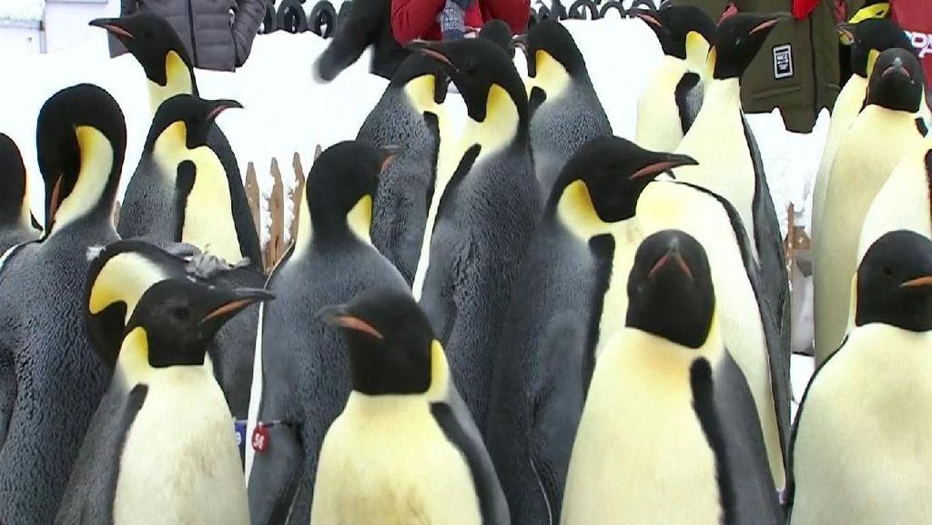 Tinja Penguin Menimbulkan Gas Tertawa