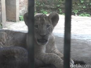 Tiga Anak Singa Afrika Tambah Koleksi Taman Satwa Cikembulan Garut