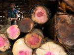 Indonesia Punya 185.476 Spesimen Kayu, Terbanyak di Dunia